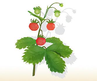 Erdbeere (Wald-)